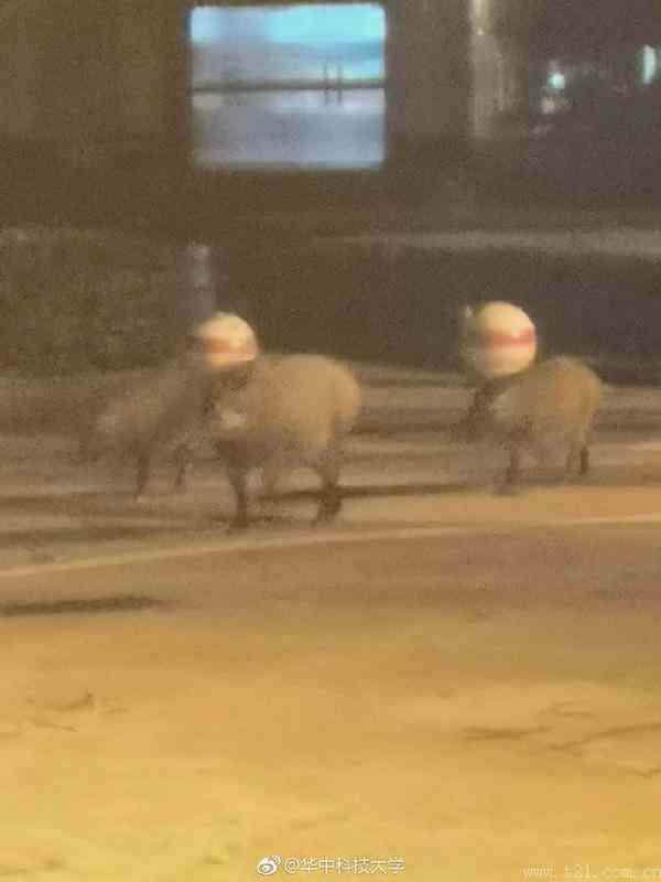 三头野猪跑进学校散步