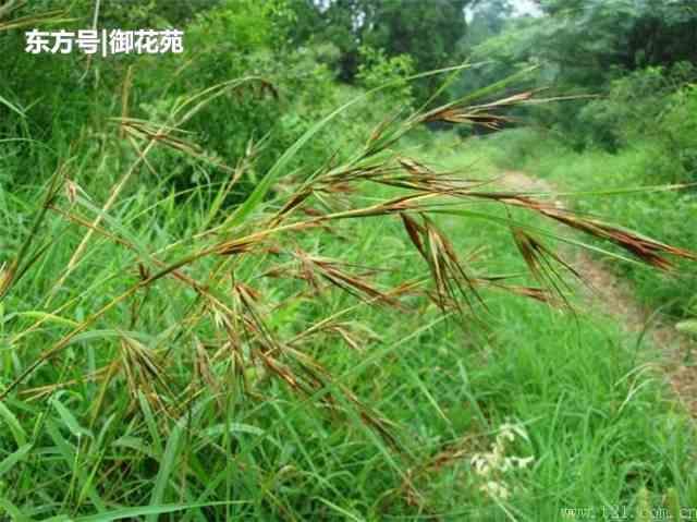 它是黄背草,看起来像燕麦