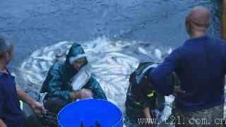 大山里水库打捞上万斤鱼,场面壮观引人围观,买条鱼回家吃